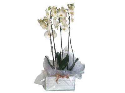 Arrangement of 2 White Orchids