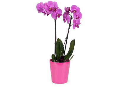 Purple Orchid-Twin stems